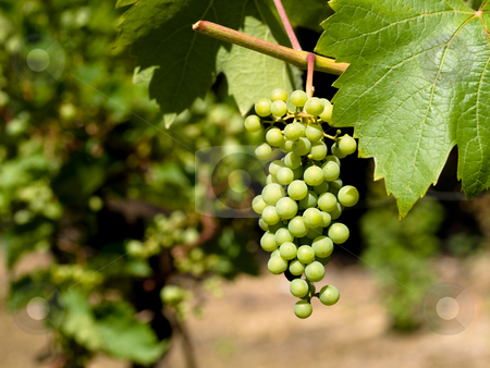 Wine grapes stock photo, Wine grapes close in a French vineyard by Laurent Dambies