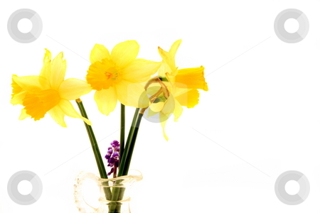 Daffodils stock photo, Tree tulips in a glass bottle by Jack Schiffer