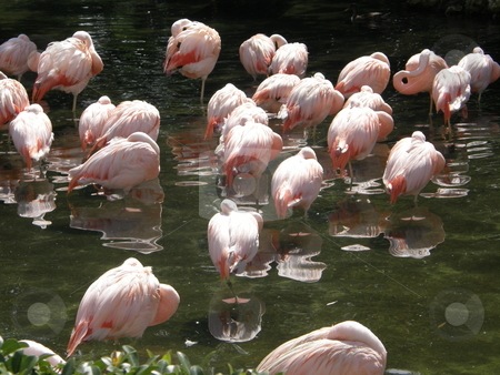 Flamingo stock photo,  by Ritu Jethani