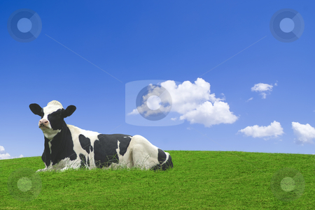Cow in field stock photo, Black and white cow laid down in a green meadow against a blue sky. by Serge VILLA
