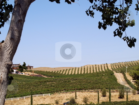 Vineyards View stock photo, View of vineyards framed by tree by Joseph Ligori