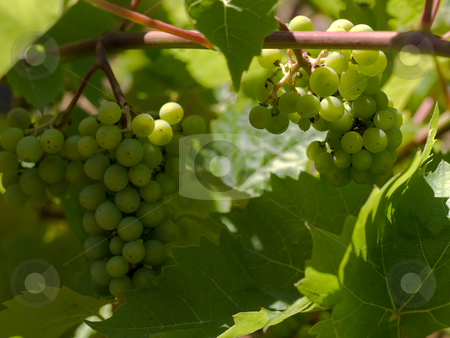Wine grapes  stock photo, Wine grapes closeup in French Vineyard by Laurent Dambies