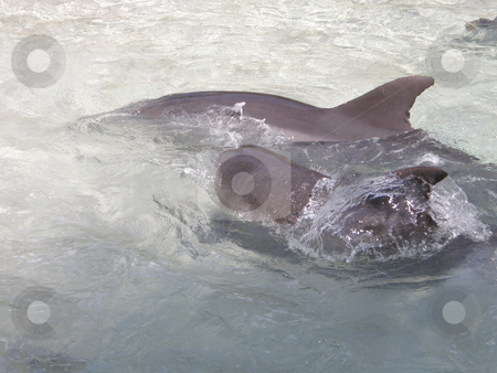 Dolphin stock photo,  by Ritu Jethani