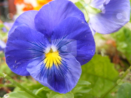 Pansie stock photo,  by Ray Roscoe