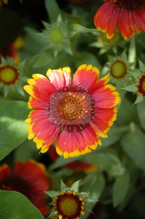 Summer flowers stock photo, A colorful summer flower by Tim Markley
