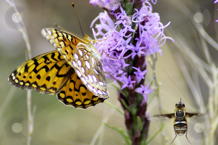 Butterfly and Bee stock photo, Monarch Butterfly and honey bee sharing a purple flower in summer field. by Patrick Kay