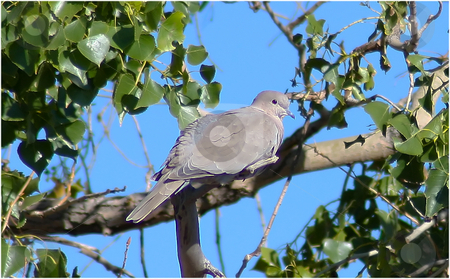 Wild Dove stock photo, Wild Mourning Dove roosting in tree. by Patrick Kay