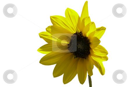 Sunflower Cutout stock photo, Summertime sunflower - cutout for your use. by Patrick Kay