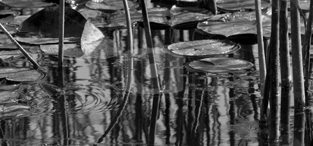 Pond Ripples stock photo, Cattails and Lily PAds form an interesting set of lines and patterns as the still surface of the pond is broken by a frog sliding into the water. by Mike Dawson