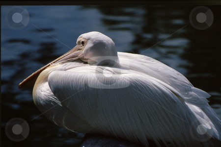 Pelican stock photo, White Pelican huddled down with wings tucked in by Joseph Ligori