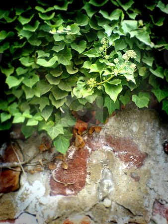 Romantic wall stock photo, Old wall with ivy by Heiko Riemann
