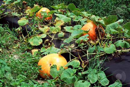 MPIXIS250580 stock photo, Pumpkins by Mpixis World