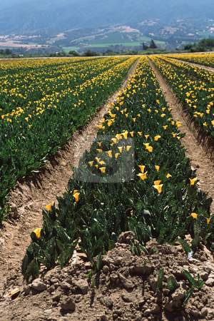 MPIXIS250596 stock photo, Calla lily farm by Mpixis World