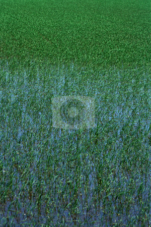 MPIXIS250600 stock photo, Field of lavender by Mpixis World