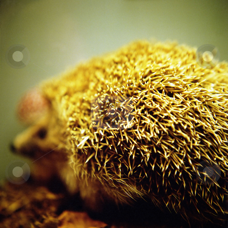 MPIXIS250482 stock photo, Stuffed hedgehog by Mpixis World