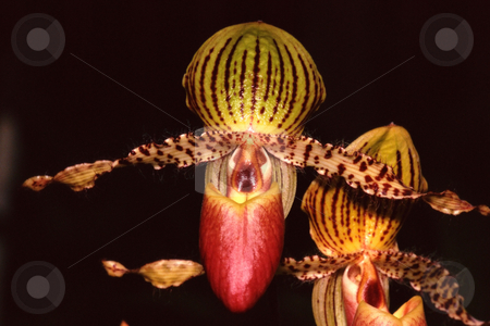 MPIXIS250330 stock photo, Orchid flower in bloom by Mpixis World