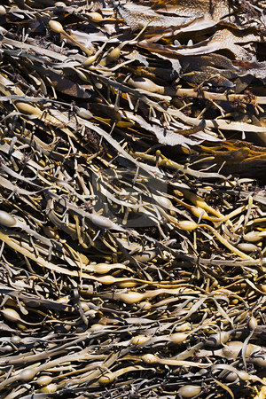 MPIXIS250799 stock photo, Seaweed by Mpixis World