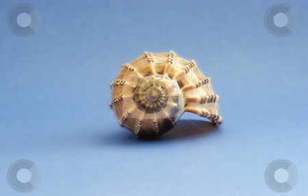 Brown shell stock photo, A brown sea shell on a blue backgound by Sam Sapp