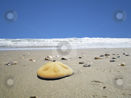 Beach sanddollar stock photo, A large sand dollar on the beach by Sam Sapp