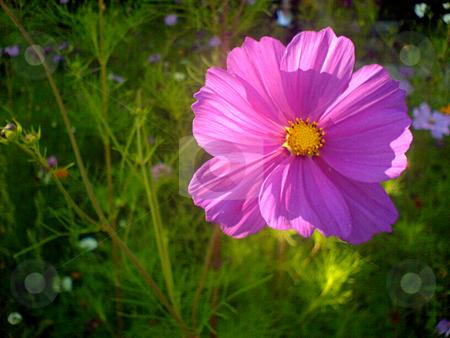 Purple flower stock photo, Purple flower by Heiko Riemann