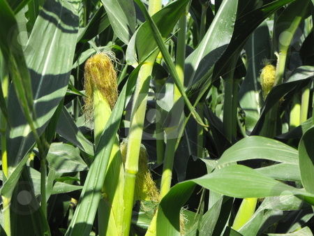 FIELD CORN: Food and Biofuel stock photo, Corn fields show lush, summer growth as field crops like this get closer to fall harvest.  Corn is a staple of the food industry and is growing as a source ethanol, a leading U.S. biofuel. by Dennis Thomsen