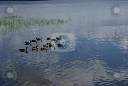 Canadian Geese stock photo, A flock of Canadian Geese search for food on a northern Minnesota lake reflecting a blue sky and fluffy white clouds. by Dennis Thomsen