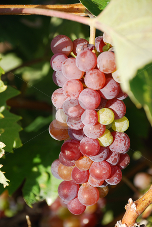 Red grapes stock photo, Red grapes is hanging on a vine by Ivan Paunovic