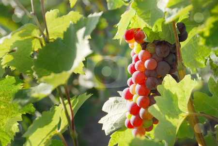 Grapes stock photo, Red grapes is hanging on a vine by Ivan Paunovic