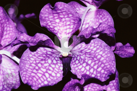 MPIXIS250340 stock photo, Tropical orchid in bloom by Mpixis World