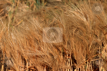 MPIXIS250610 stock photo, Field of wheat by Mpixis World