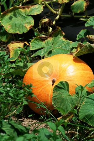 Pumpkins stock photo, Pumpkins by Mpixis World