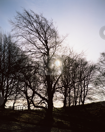 MPIXIS250905 stock photo, Silhouette of trees dolphinton scotland by Mpixis World