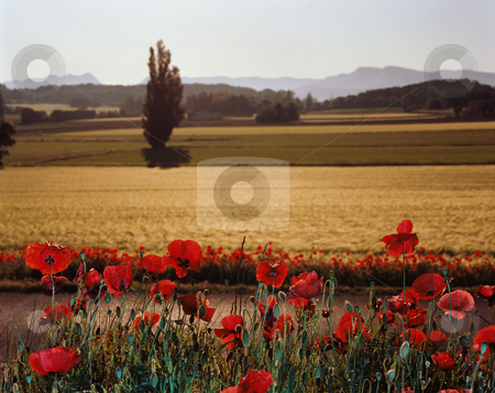 MPIXIS250753 stock photo, Poppy field by Mpixis World