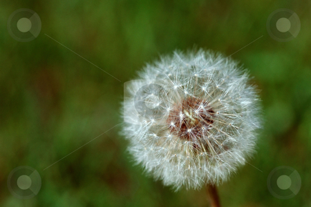 MPIXIS250671 stock photo, Dandelion by Mpixis World