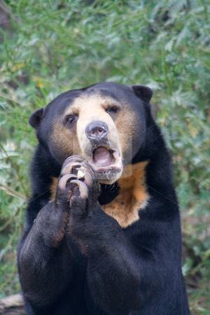 Sun Bear stock photo,  by Mark Holland