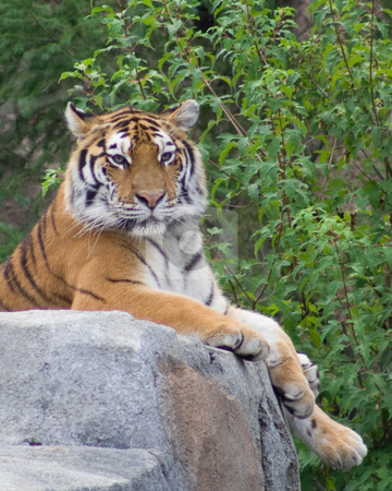 Tiger stock photo,  by Mark Holland