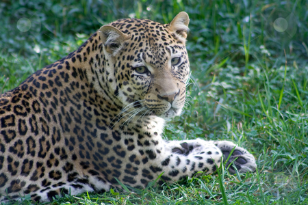 Leopard stock photo,  by Mark Holland