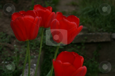 Red tulips stock photo,  by Luis Agui