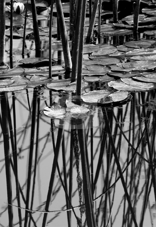 Pads and Poles stock photo, A view of lily pads and reeds on a local pond. by Mike Dawson