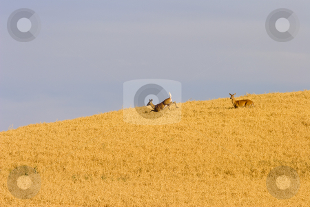 Harvest Surprise stock photo, A pair of Does startled by the machines of harvest bound trhough golden fields of wheat. by Mike Dawson