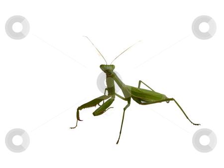 Praying Mantis on White stock photo, Praying Mantis isolated on White Background by Joseph Ligori