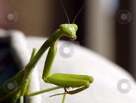 Praying Mantis Closeup stock photo, Praying Mantis Closeup of head and claws by Joseph Ligori