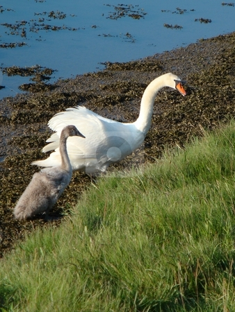 Swan and Cygnet stock photo,  by David Nebesky