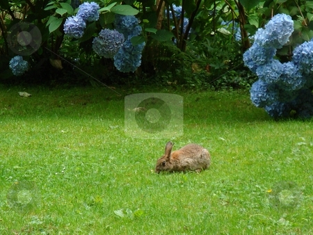 Pabbit and Hydrangea stock photo,  by David Nebesky