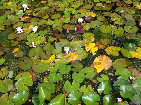 Pond with water-lilies stock photo,  by David Nebesky