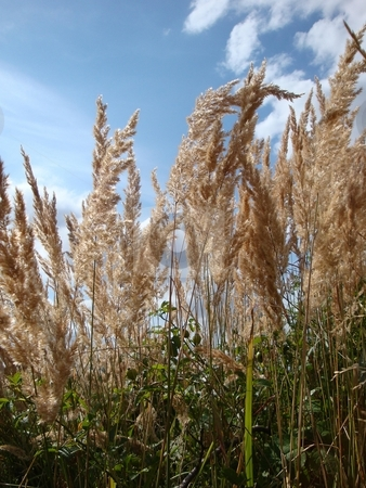 Tall Grass stock photo,  by David Nebesky