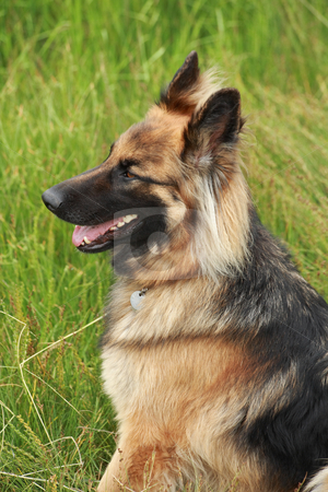 German shepherd stock photo, German shepherd in the countryside by Tilo