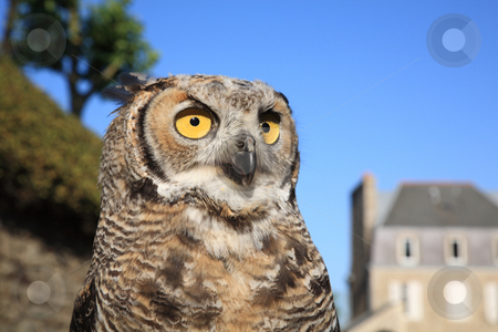 Great Horned Owl stock photo, Great Horned Owl (Bubo virginianus) by Tilo
