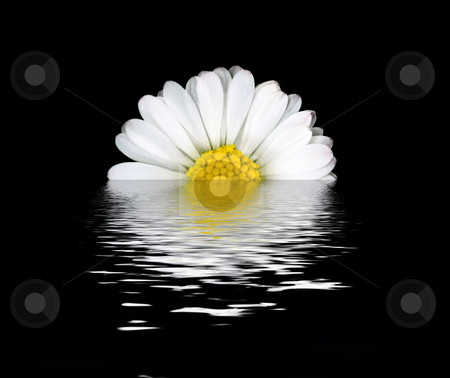 Daisy flower reflection stock photo, Beautiful daisy flower with water reflection on black by Laurent Dambies