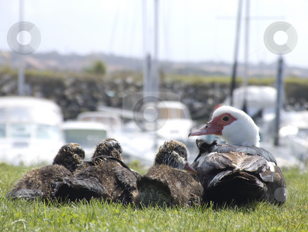 Family of duck looking to the boats stock photo, Family of duck on the grass looking to the boats by Paulo Resende